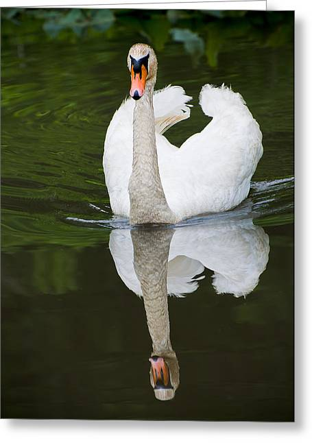 Greeting Card featuring the photograph Swan In Motion by Gary Slawsky