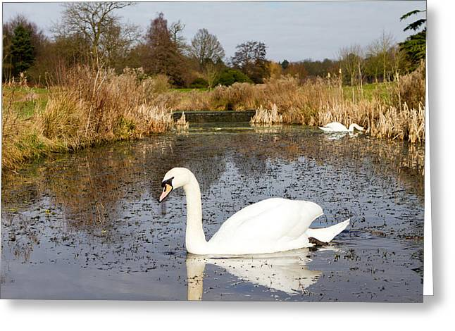 Swan In River In An  English Countryside Scene On A Cold Winter  Greeting Card by Fizzy Image