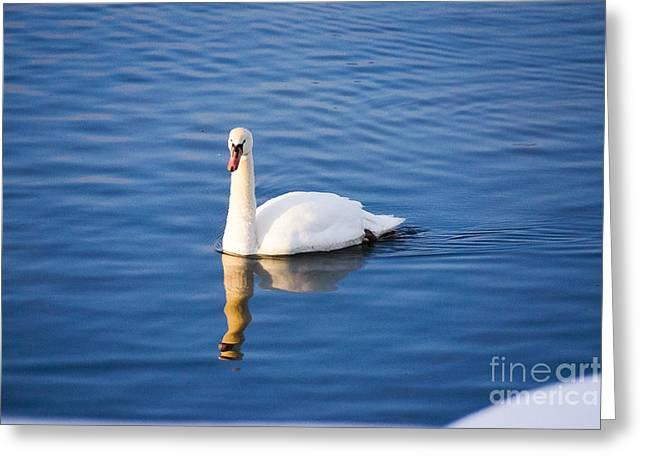 Swan In Winter Greeting Card by Gloria Pasko