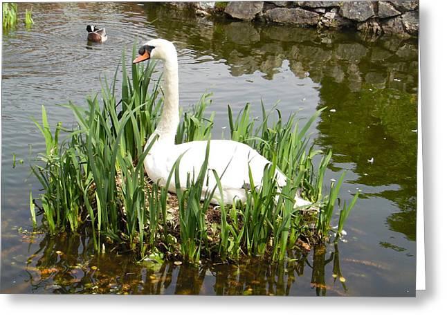 Swan Isle Of Nest Greeting Card