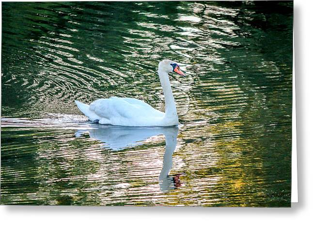 Greeting Card featuring the photograph Swan On Water  by Trace Kittrell