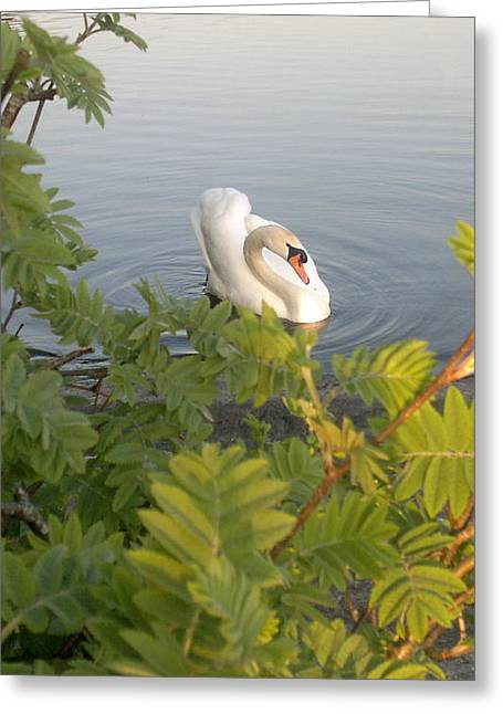 Swan Greeting Card by Santa Deme