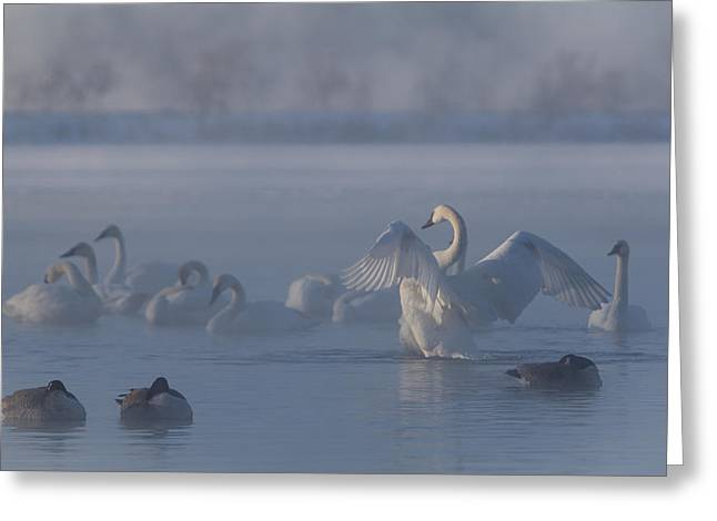 Greeting Card featuring the photograph Swan Showing Off by Patti Deters