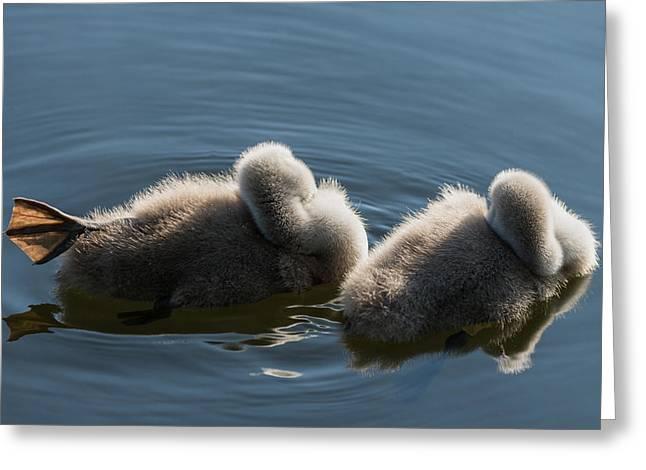 Swan Siesta Greeting Card by Michael Mogensen