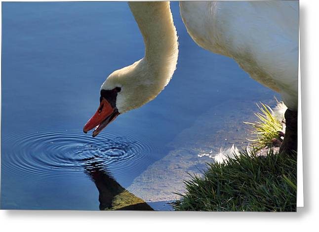 Greeting Card featuring the photograph Swan Song by Cathy Donohoue