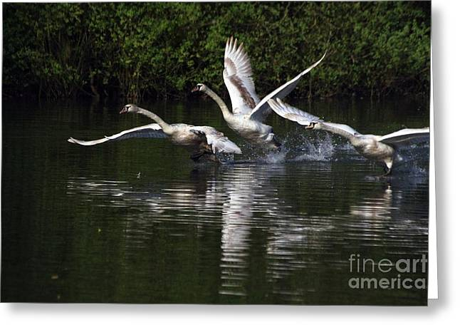 Greeting Card featuring the photograph Swan Take-off by Jeremy Hayden