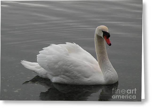 Swan  Greeting Card by Val Carosella