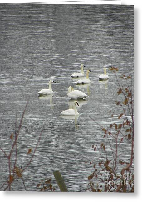 Swans A Swimming Greeting Card