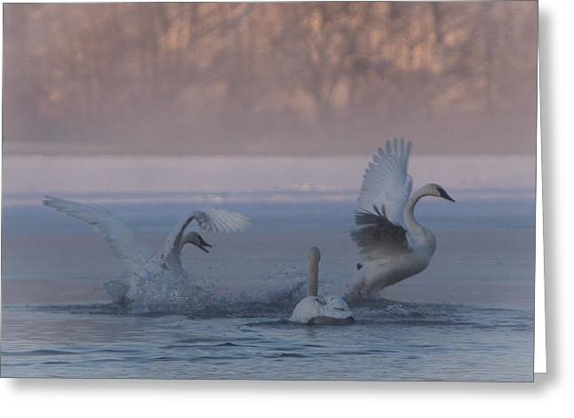 Greeting Card featuring the photograph Swans Chasing by Patti Deters