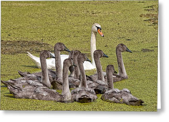 Swans Family Greeting Card