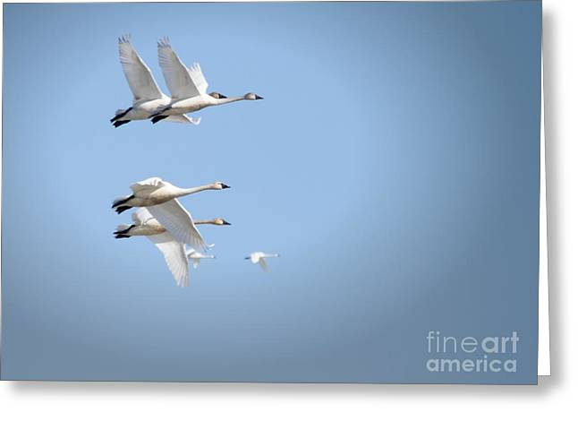 Swans In Flight Greeting Card