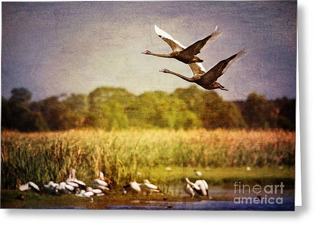 Swans In Flight Greeting Card by Kym Clarke