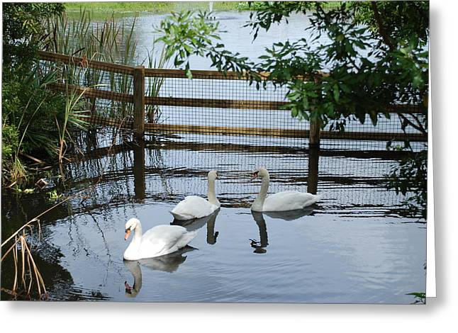 Swans In The Pond Greeting Card