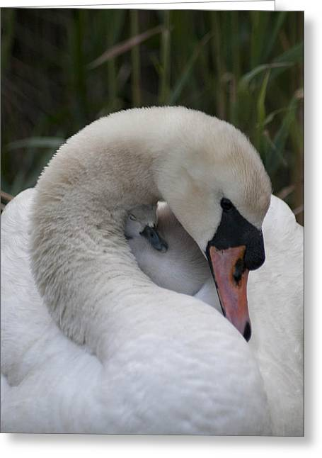 Swans Love Greeting Card