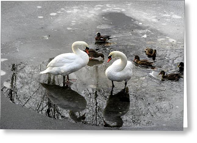 Swans On Thin Ice Greeting Card by Brian Chase