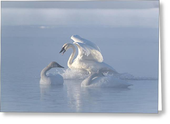 Greeting Card featuring the photograph Trumpeter Swans - Three's Company by Patti Deters