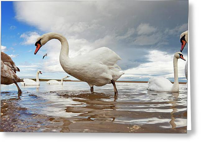 Swans Wading In The Shallow Water  Holy Greeting Card
