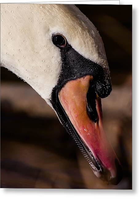 Swan's Wet Head Greeting Card