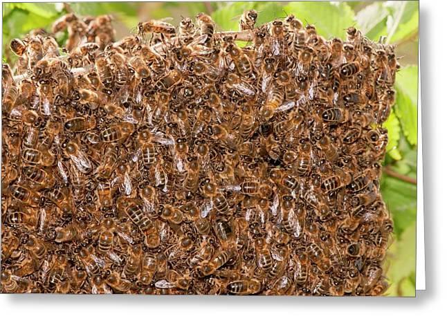 Swarm Of Honey Bees Greeting Card by Dr. John Brackenbury