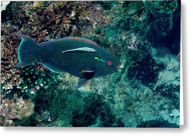 Swarthy Parrotfish With Cleaner Wrasse Greeting Card by Georgette Douwma