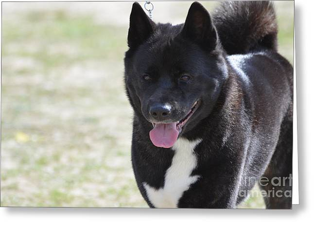 Sweet Akita Dog Greeting Card