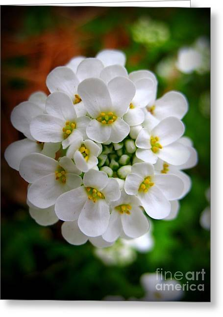 Sweet Alyssum Greeting Card by Patti Whitten