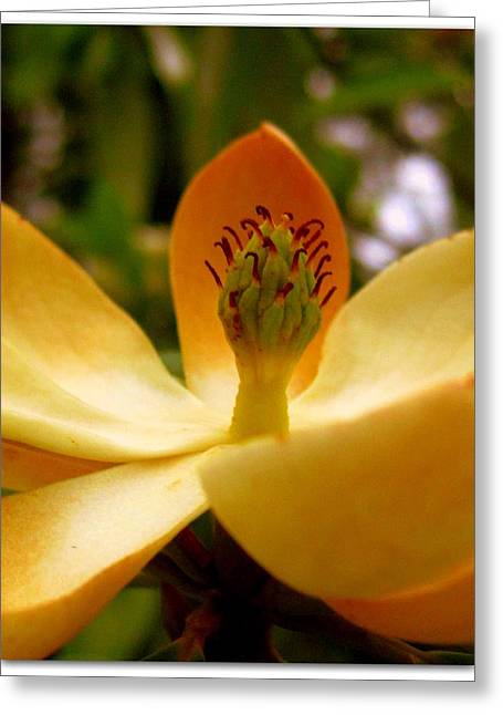 Sweet Bay Magnolia Greeting Card by Jhoy E Meade
