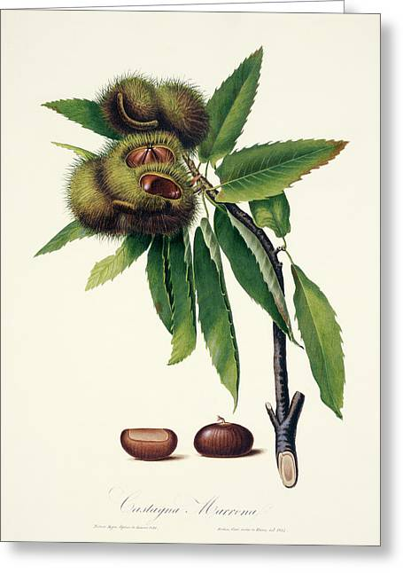Sweet Chestnut Greeting Card