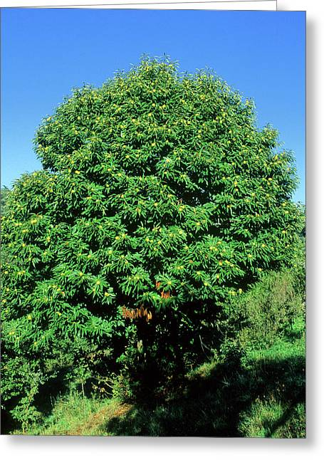 Sweet Chestnut Tree (castanea Sativa) Greeting Card by Bruno Petriglia/science Photo Library