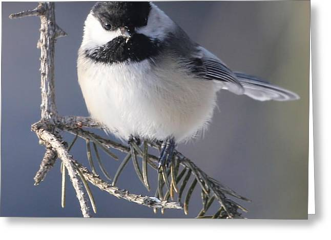 Sweet Chickadee Greeting Card by John Kunze