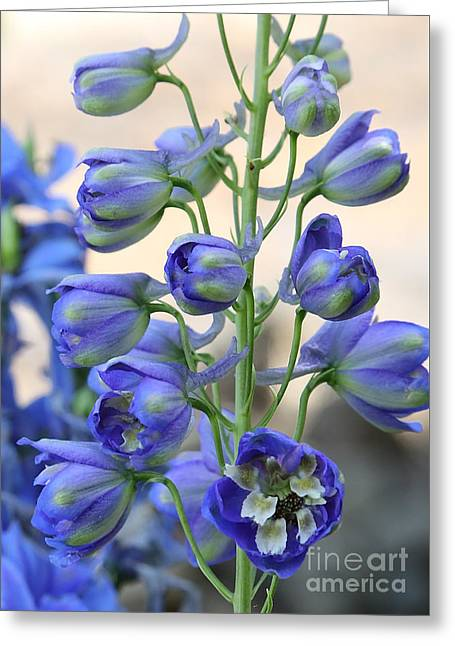Sweet Delphinium Greeting Card