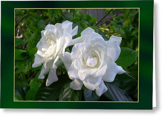 Sweet Gardenia Greeting Card by Ginny Schmidt