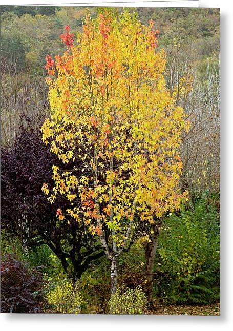 Sweet Gum (liquidambar Styraciflua) Greeting Card by Bob Gibbons
