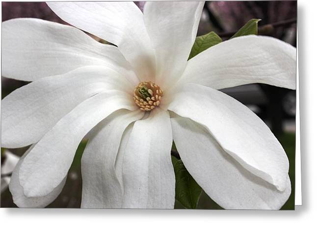 Greeting Card featuring the photograph Sweet Magnolia by Judy Palkimas