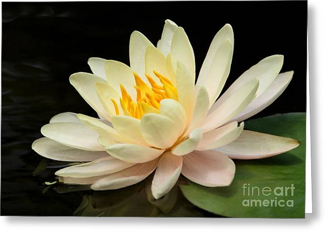 Sweet Peach Water Lily Greeting Card by Sabrina L Ryan