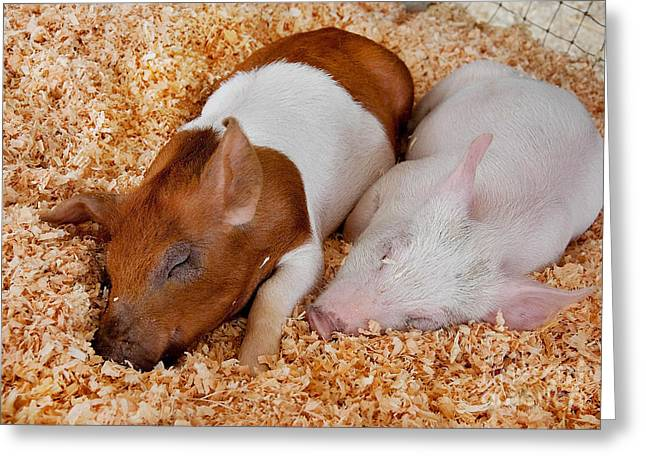 Greeting Card featuring the photograph Sweet Piglets Nap by Valerie Garner