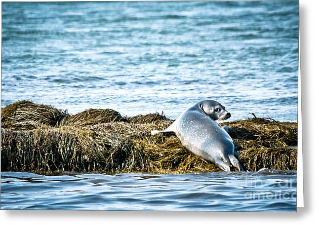 Sweet Seal Greeting Card by Cheryl Baxter