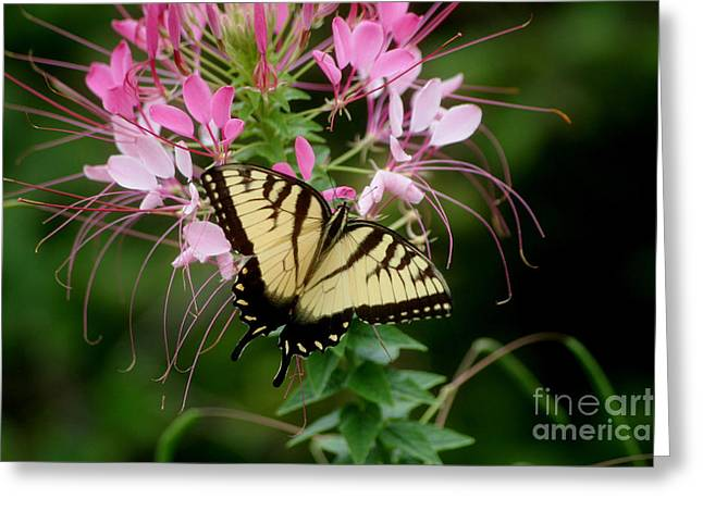 Sweet Swallowtail Greeting Card