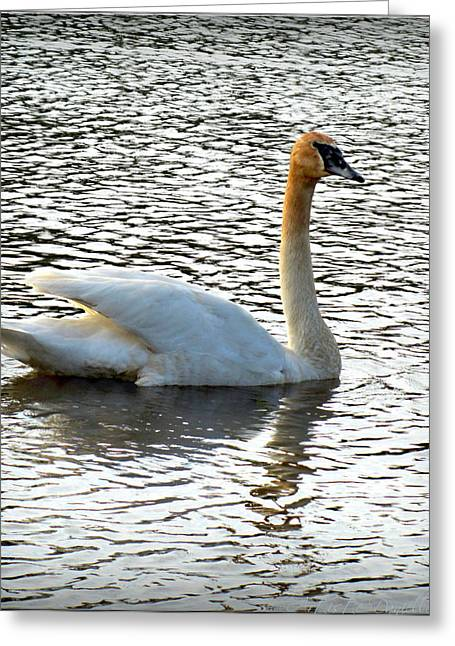 Sweet Swan Swimming 2 Greeting Card by Danielle  Parent