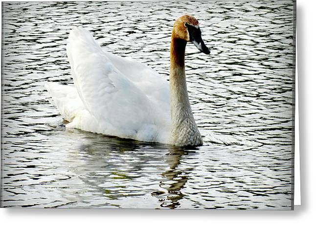Sweet Swan Swimming Greeting Card by Danielle  Parent