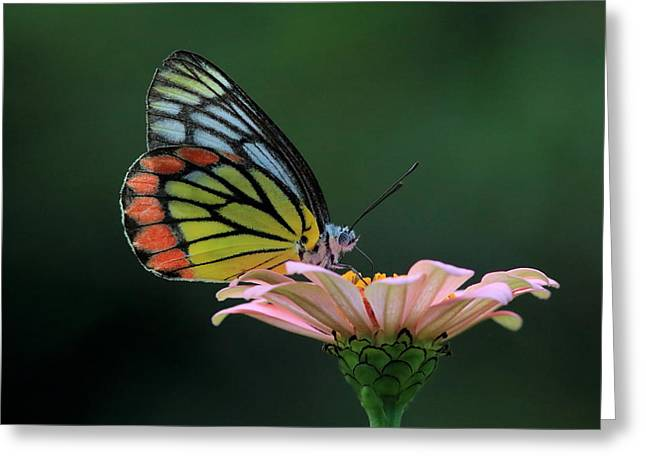 Delicate Beauty Greeting Card by Ramabhadran Thirupattur
