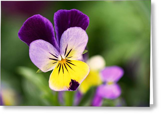 Sweet Violet Greeting Card by Rona Black