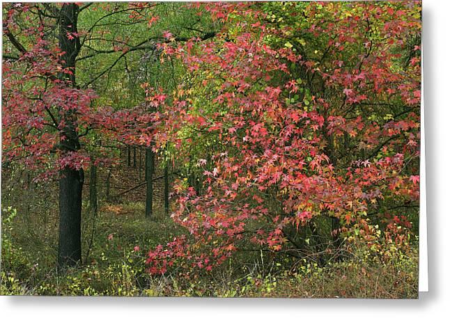 Sweetgum In Autumn At Gillham Lake Greeting Card