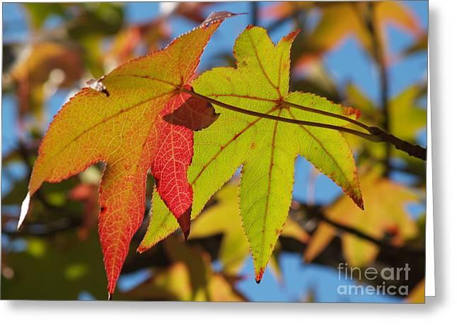 Sweetgum Leaf Pair In Fall Finery Greeting Card