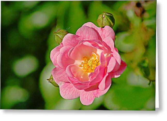 Sweetheart Rose Greeting Card