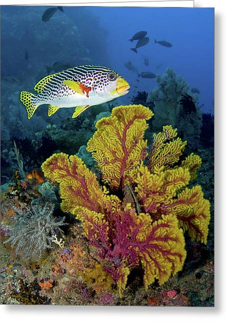 Sweetlip Fish Swims Over Gorgonian Greeting Card by Jaynes Gallery