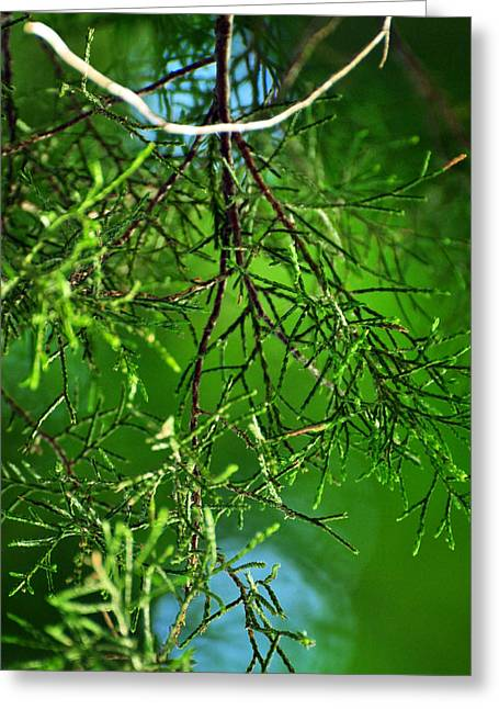 Sweetness Of Cedar Greeting Card by Rebecca Sherman