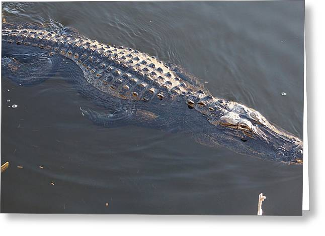 Swimmig Alligator Greeting Card by Scott Dovey