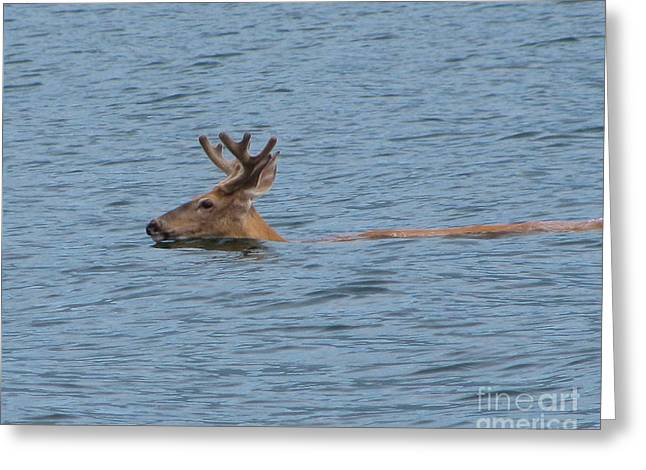 Swimming Deer Greeting Card