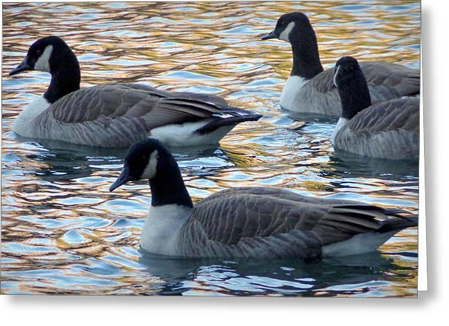 Swimming Geese Greeting Card by Joseph Skompski